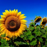 Соняшник СИ Розета КЛП купити в Україні