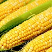 Гибрид кукурузы СИ Иридиум купить в Украине