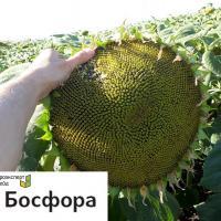 Насіння соняшника БОСФОРА від Агроэксперт-Трейд