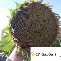 Соняшник СІ Барбати купити насіння