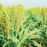 Сорго гибрид 341Х120 купить семена