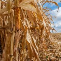 кукурудза гібрид ДКС 3730 насіння
