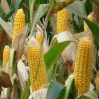 кукуруза гибрид ДКС 3939 семена