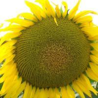 Соняшник гібрид НС Х 496 купити насіння в Україні фото