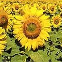 Подсолнечник гибрид НС Х 498 купить семена в Украине фото