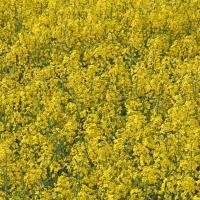 Семена рапса Абакус (Лембке) купить в Украине, описание гибрида, отзывы, цена, доставка