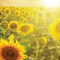 Соняшник НК Адажіо купити насіння