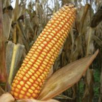 кукуруза гибрид Агральп 200 фото