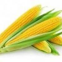 кукуруза гибрид Амальди фото