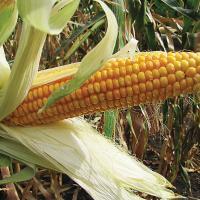 кукуруза гибрид Амелиор семена