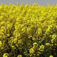 Посевной озимый рапс украинской селекции семена сорт Анна описание характеристика цена купить в Украине
