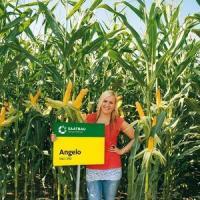 кукуруза гибрид Анжело фото