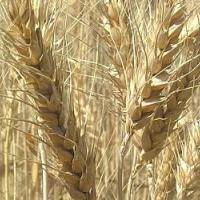 Семена пшеницы АРАНКА от Агроэксперт-Трейд