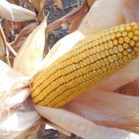 кукуруза гибрид НК Кобальт в Украине