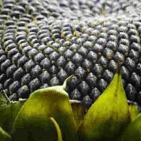 Семена подсолнечника Аркансель