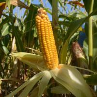 Гибрид кукурузы Артуа