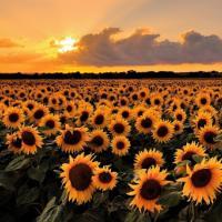 Насіння соняшнику Астурія
