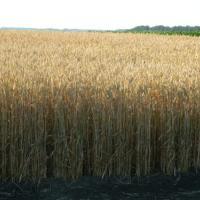 Посевная озимая австрийская пшеница семена сорт Балатон описание характеристика цена купить в Украине