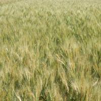 Посівна озима австрійська пшениця насіння сорт Мідас опис характеристика ціна купити в Україні