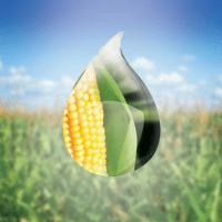кукурудза гібрид СІ Батанга фото