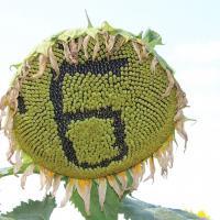 Соняшник гібрид Богдан купити насіння