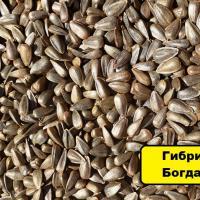 Подсолнечник Богдан (Одиссей ІМІ) купить семена