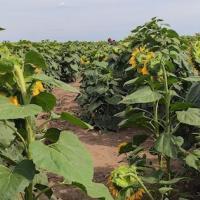 Семена Подсолнечника Бомонд от Агроэксперт-Трейд
