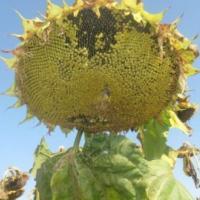 Семена Подсолнечника Целсо ШТ от Агроэксперт-Трейд