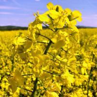 Насіння ріпаку сорт Чорний Велетень опис характеристика ціна купити в Україні