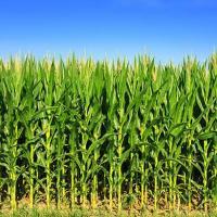 Кукурудза Сі Чорінтос купити в Україні