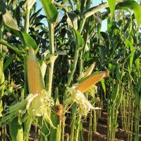Кукурудза СІ Чоринтос опис гібрида