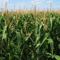 кукуруза гибрид НК Кобальт купить семена