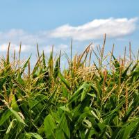 кукурудза гібрид НК Фалькон купити насіння