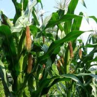 кукурудза гібрид СІ Феномен в Україні