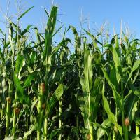 кукуруза гибрид СИ Аладиум купить семена