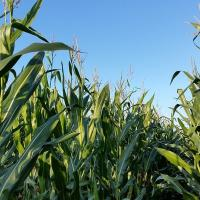 кукуруза гибрид НК Пако купить семена