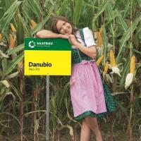 кукуруза гибрид Данубио фото