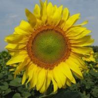 Посевной подсолнечник подсолнух семена гибрид ДАРИЙ (F1) фракция 3,4 описание характеристика цена купить в Украине