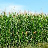 кукурудза гібрид СІ Зефір купити насіння