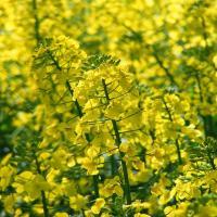 Семена рапса ДК Эксепшн купить в Украине, описание гибрида, отзывы, цена, доставка
