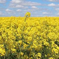 Семена рапса ДК Эксодус купить в Украине, описание гибрида, отзывы, цена, доставка