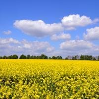 Семена рапса ДК Эксповер купить в Украине, описание гибрида, отзывы, цена, доставка