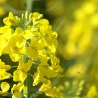 Семена рапса ДК Эксприт купить в Украине, описание гибрида, отзывы, цена, доставка
