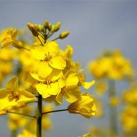Семена рапса ДК Эксвизит купить в Украине, описание гибрида, отзывы, цена, доставка