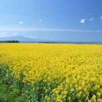 Семена рапса ДК Имарет КЛ купить в Украине, описание гибрида, отзывы, цена, доставка