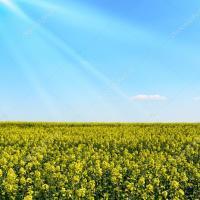 Семена рапса ДК Имистар КЛ купить в Украине, описание гибрида, отзывы, цена, доставка