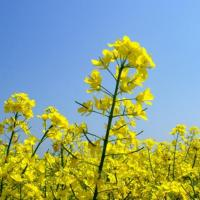 Семена рапса ДК Имминент КЛ купить в Украине, описание гибрида, отзывы, цена, доставка