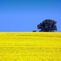Семена рапса ДК Сеакс купить в Украине, описание гибрида, отзывы, цена, доставка