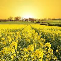 Семена рапса ДК Секюр купить в Украине, описание гибрида, отзывы, цена, доставка