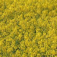Семена рапса ДК Сенсей купить в Украине, описание гибрида, отзывы, цена, доставка